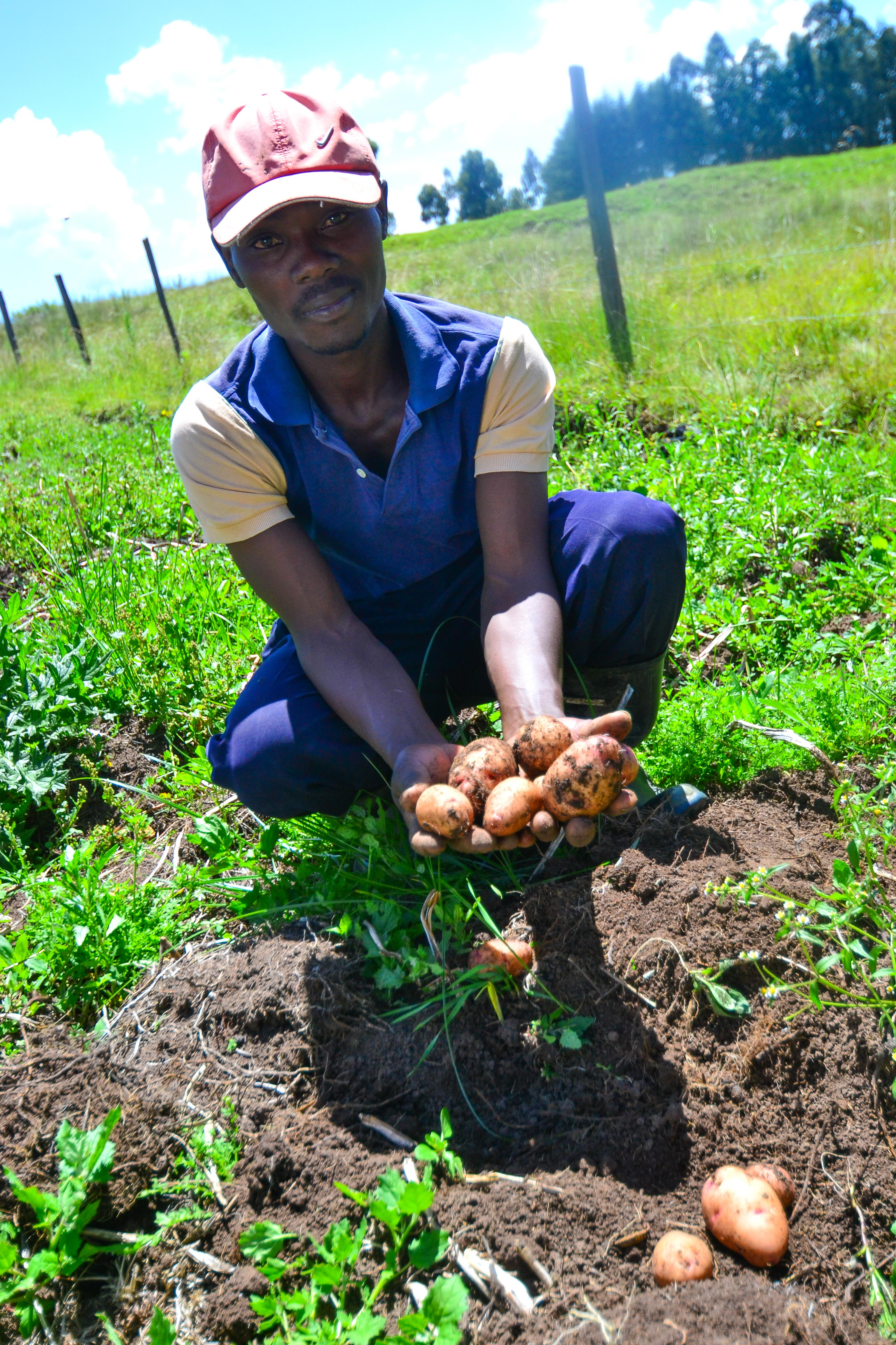 For many SunCulture farmers, their yields can increase by up to 300 percent. This farmer showcases some of his potato harvest. Photo: SunCulture.